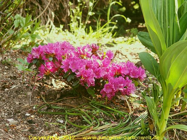 japanische azalee rhododendron obtusum 39 hatsugiri 39. Black Bedroom Furniture Sets. Home Design Ideas